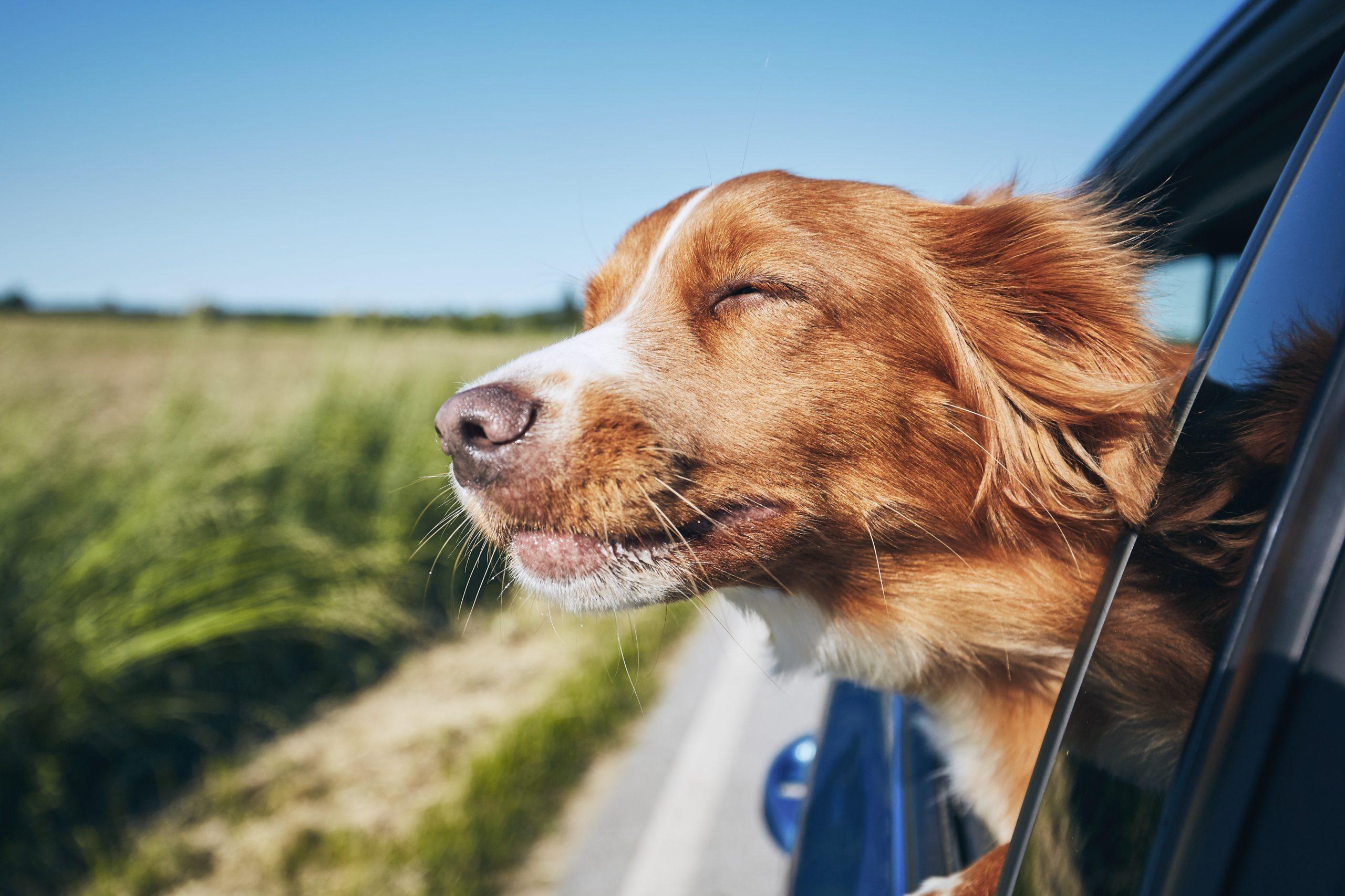 Autofahren mit deinem Hund